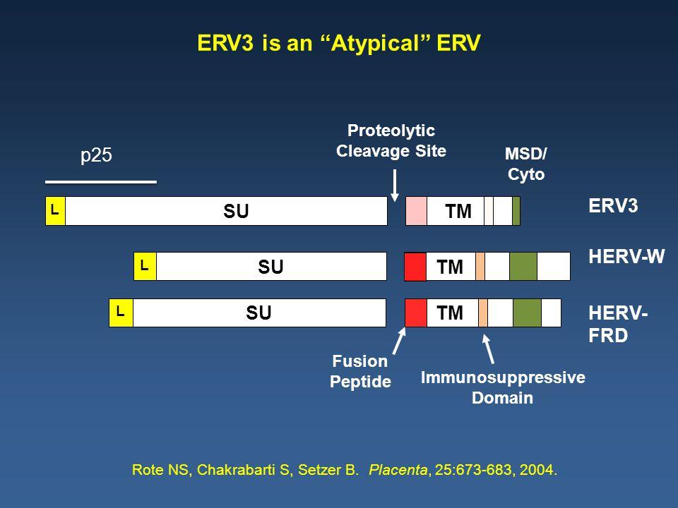 MSD/ Cyto Fusion Peptide Immunosuppressive Domain ERV3 HERV-W HERV- FRD TM L SU TM L SU TM L Proteolytic Cleavage Site Rote NS, Chakrabarti S, Setzer B.