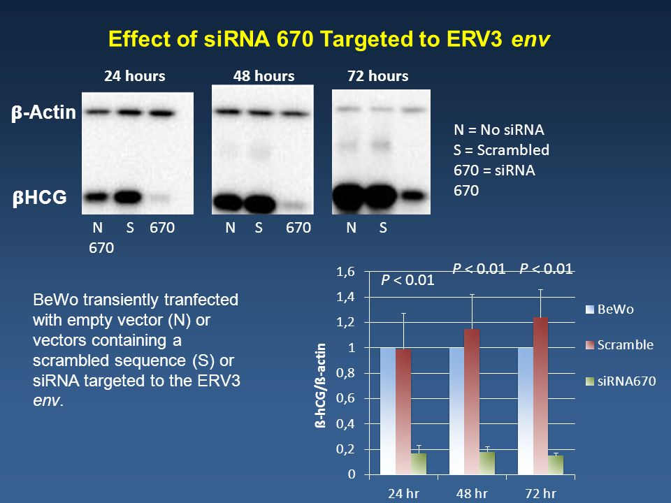 HCG -Actin 24 hours 48 hours 72 hours P < 0.01 Effect of siRNA 670 Targeted to ERV3 env N = No siRNA S = Scrambled 670 = siRNA 670 N S 670 N S 670 N S 670 BeWo transiently tranfected with empty vector (N) or vectors containing a scrambled sequence (S) or siRNA targeted to the ERV3 env.