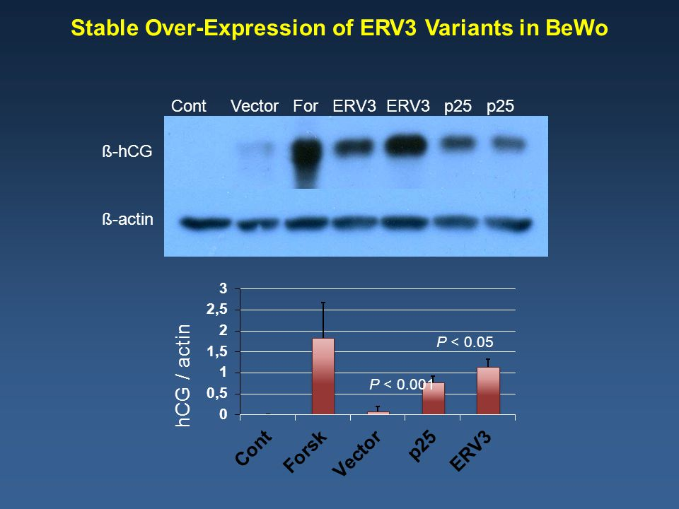 Cont Vector For ERV3 ERV3 p25 p25 ß-hCG ß-actin Stable Over-Expression of ERV3 Variants in BeWo P < 0.05 P < 0.001