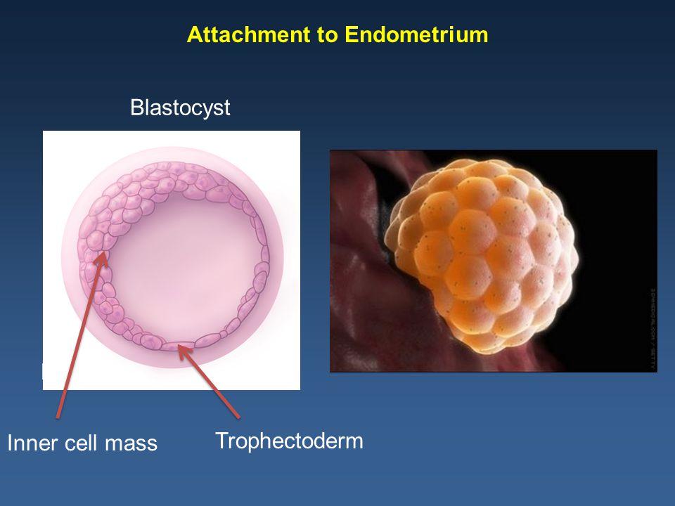 Syncytiotrophoblast Amniotic Cavity Blastocyst Cavity Endometrial Capillaries Growth Factors Cytokines Low Oxygen Tension Cytotrophoblast Invasion of Endometrium 9-10 days post-conception Modified from Norwitz ER, Schust DJ, Fisher SJ.