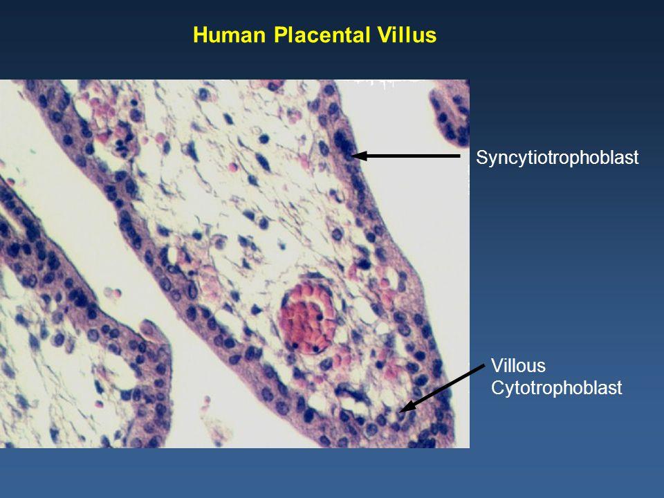 Villous Cytotrophoblast Syncytiotrophoblast Human Placental Villus