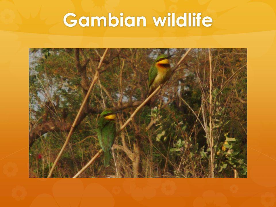 Gambian wildlife