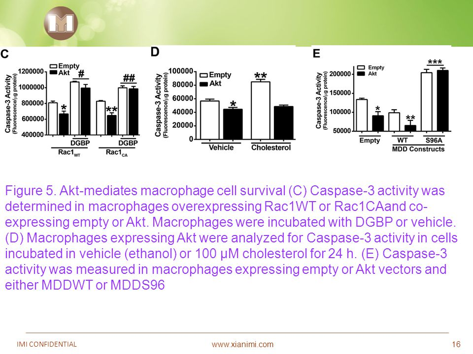 www.xianimi.com IMI CONFIDENTIAL 16 Figure 5. Akt-mediates macrophage cell survival (C) Caspase-3 activity was determined in macrophages overexpressin