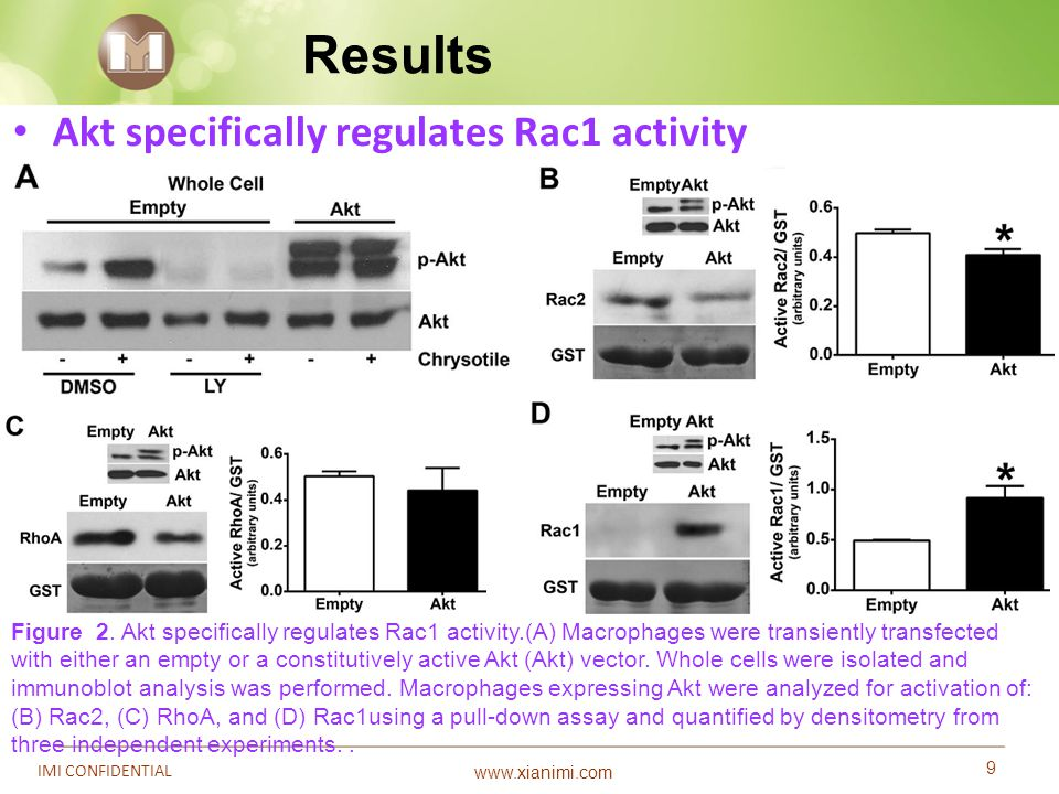 www.xianimi.com 9 IMI CONFIDENTIAL Results Figure 2. Akt specifically regulates Rac1 activity.(A) Macrophages were transiently transfected with either