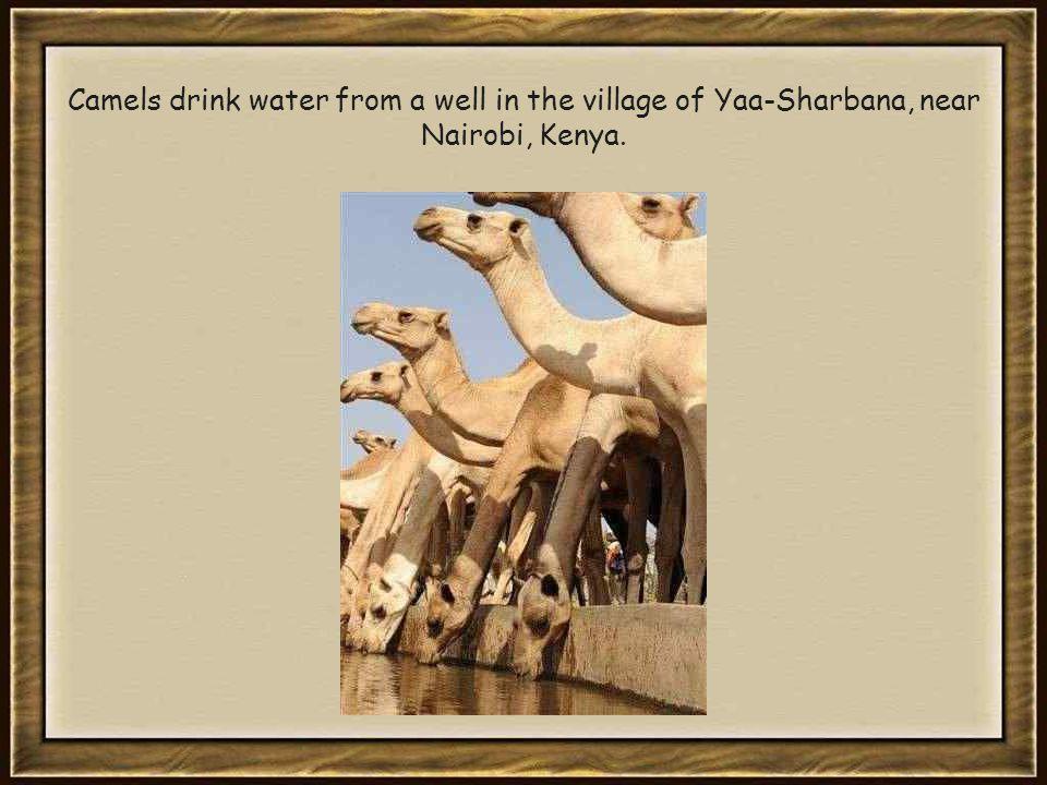 Camels drink water from a well in the village of Yaa-Sharbana, near Nairobi, Kenya.