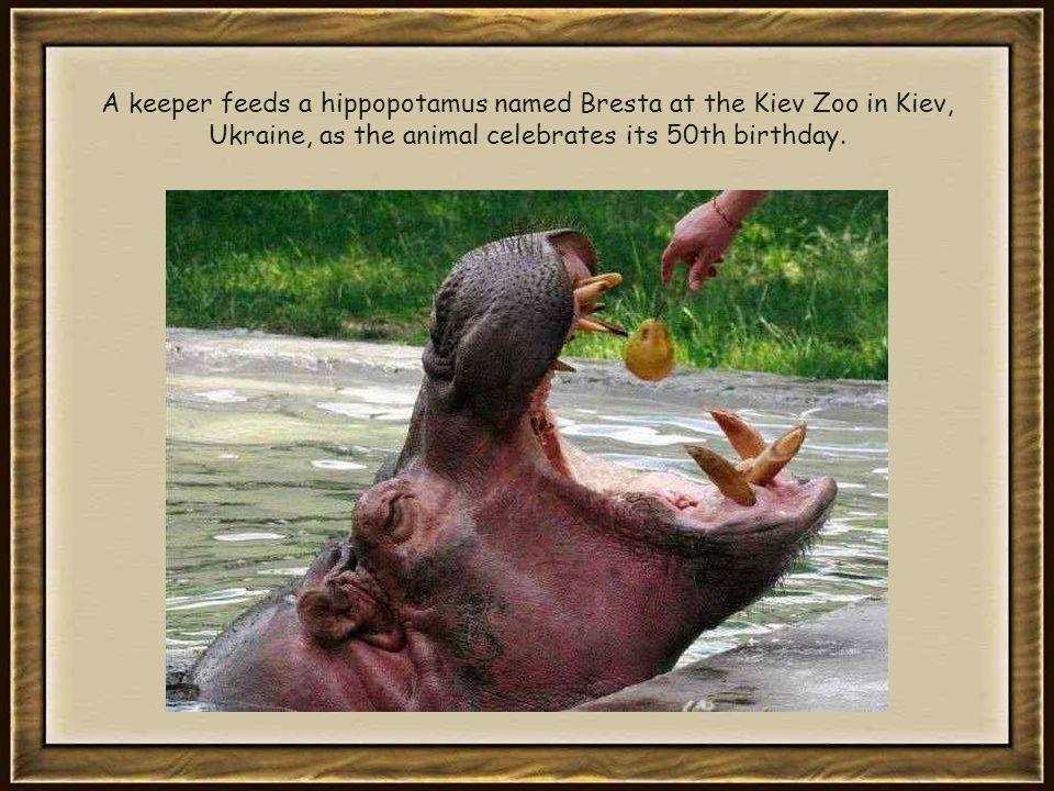 A keeper feeds a hippopotamus named Bresta at the Kiev Zoo in Kiev, Ukraine, as the animal celebrates its 50th birthday.