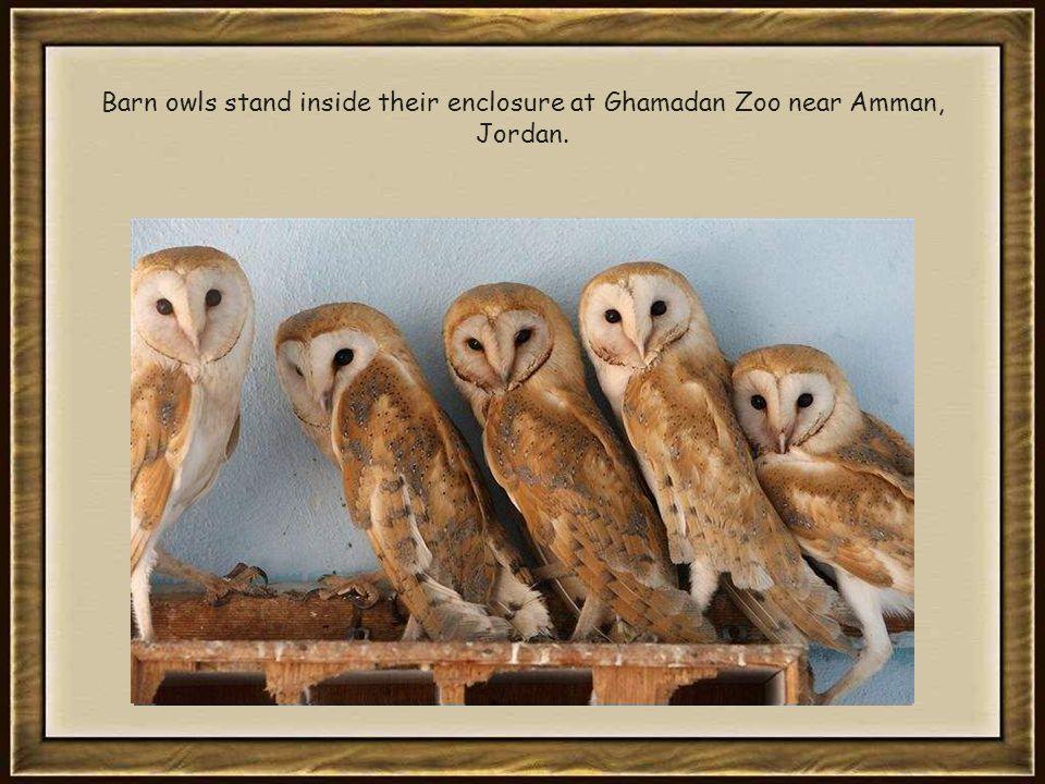 Barn owls stand inside their enclosure at Ghamadan Zoo near Amman, Jordan.