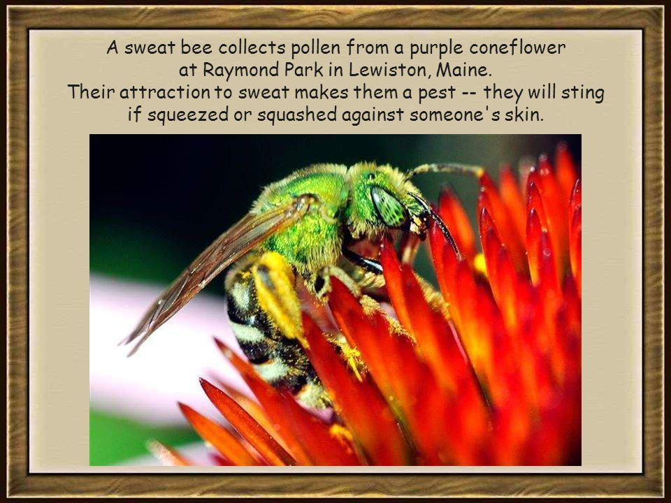 A sweat bee collects pollen from a purple coneflower at Raymond Park in Lewiston, Maine.
