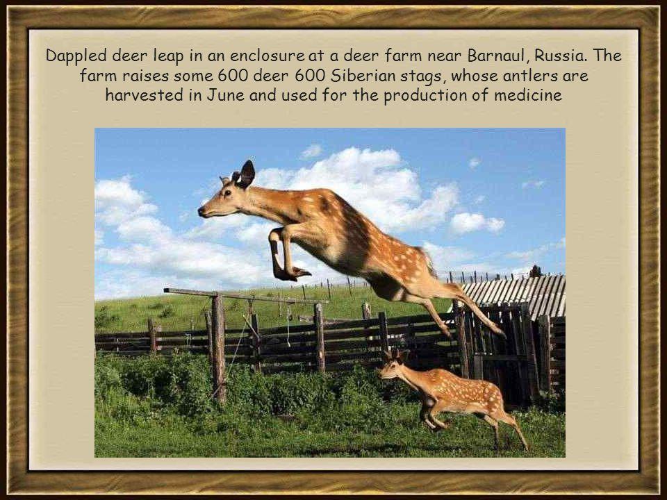 Dappled deer leap in an enclosure at a deer farm near Barnaul, Russia.