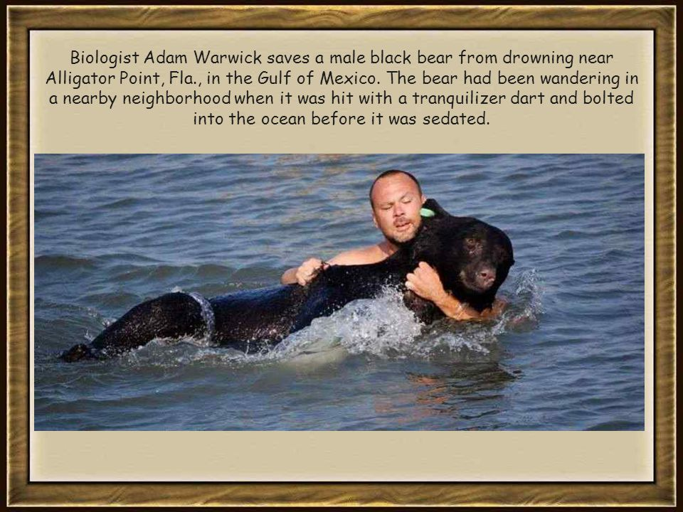 Biologist Adam Warwick saves a male black bear from drowning near Alligator Point, Fla., in the Gulf of Mexico.