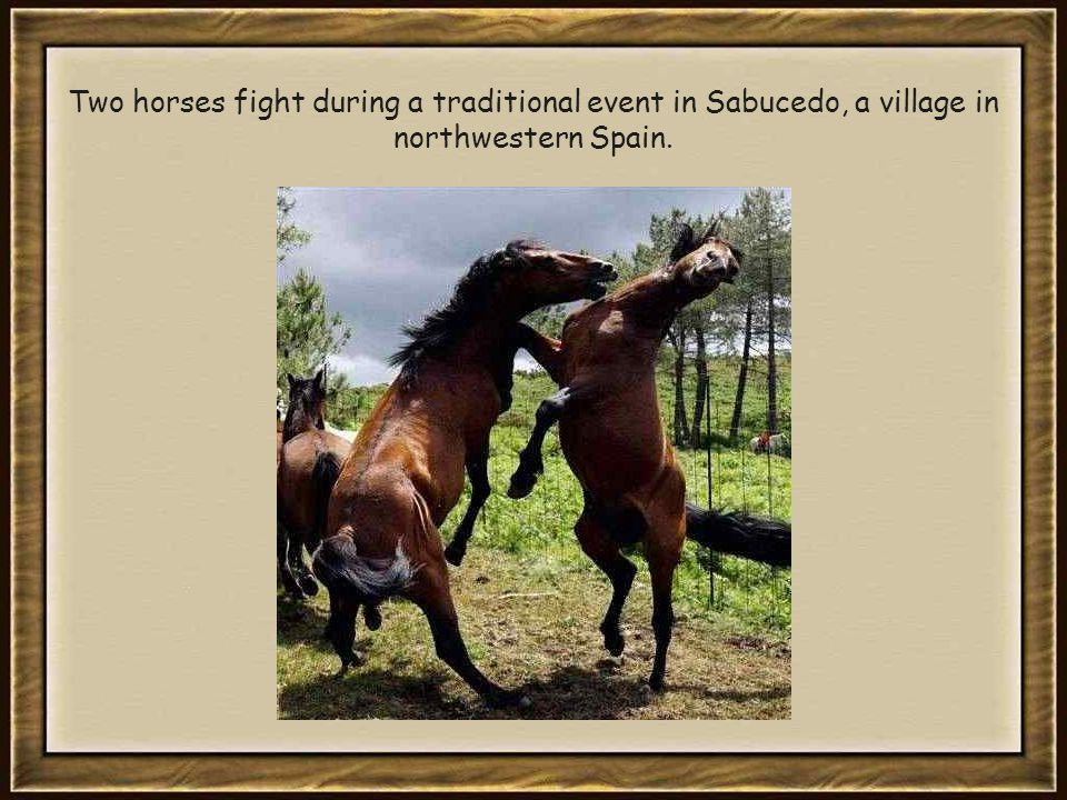 Two horses fight during a traditional event in Sabucedo, a village in northwestern Spain.