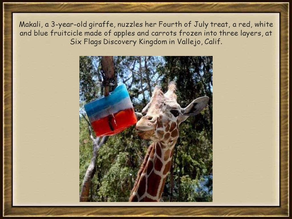 Makali, a 3-year-old giraffe, nuzzles her Fourth of July treat, a red, white and blue fruitcicle made of apples and carrots frozen into three layers, at Six Flags Discovery Kingdom in Vallejo, Calif.