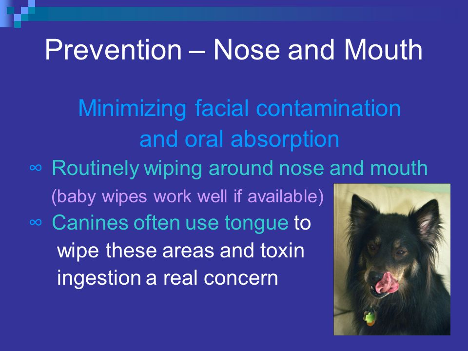 Prevention – Nose and Mouth Minimizing facial contamination and oral absorption ∞ Routinely wiping around nose and mouth (baby wipes work well if available) ∞ Canines often use tongue to wipe these areas and toxin ingestion a real concern