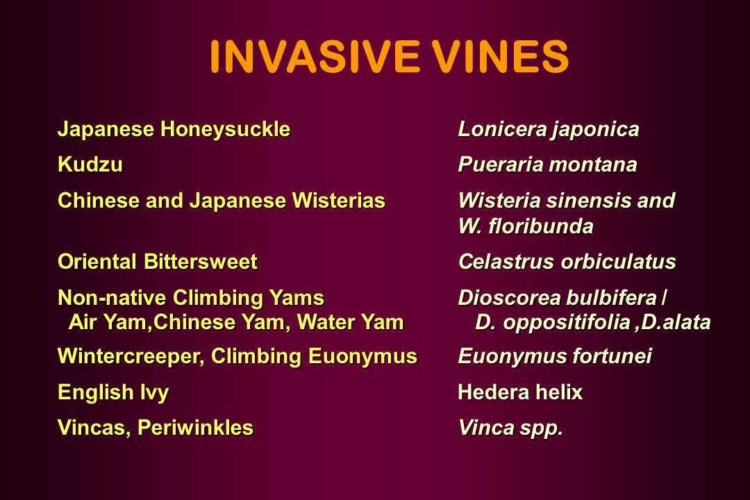 INVASIVE VINES Japanese HoneysuckleLonicera japonica KudzuPueraria montana Chinese and Japanese WisteriasWisteria sinensis and W. floribunda Oriental