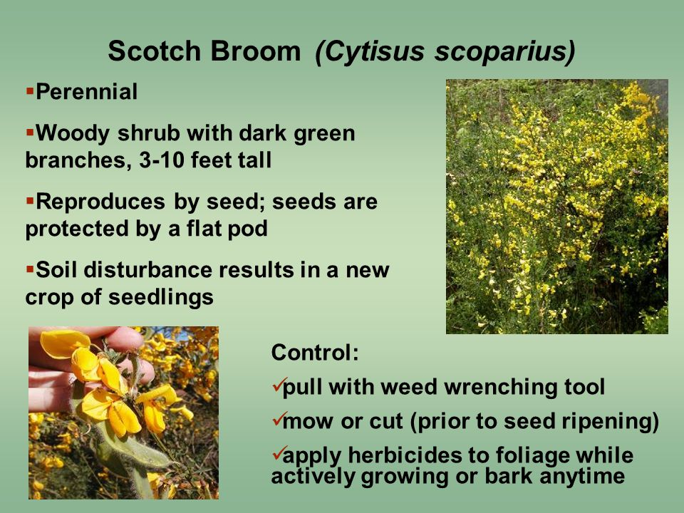 Control: pull with weed wrenching tool mow or cut (prior to seed ripening) apply herbicides to foliage while actively growing or bark anytime  Perennial  Woody shrub with dark green branches, 3-10 feet tall  Reproduces by seed; seeds are protected by a flat pod  Soil disturbance results in a new crop of seedlings Scotch Broom (Cytisus scoparius)