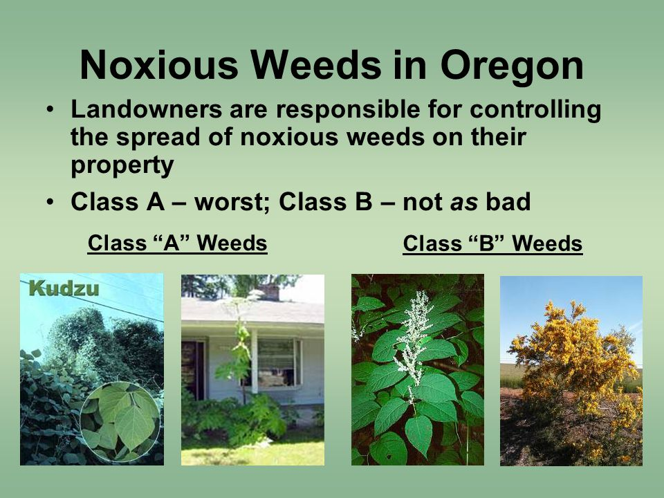Noxious Weeds in Oregon Landowners are responsible for controlling the spread of noxious weeds on their property Class A – worst; Class B – not as bad Class A Weeds Class B Weeds