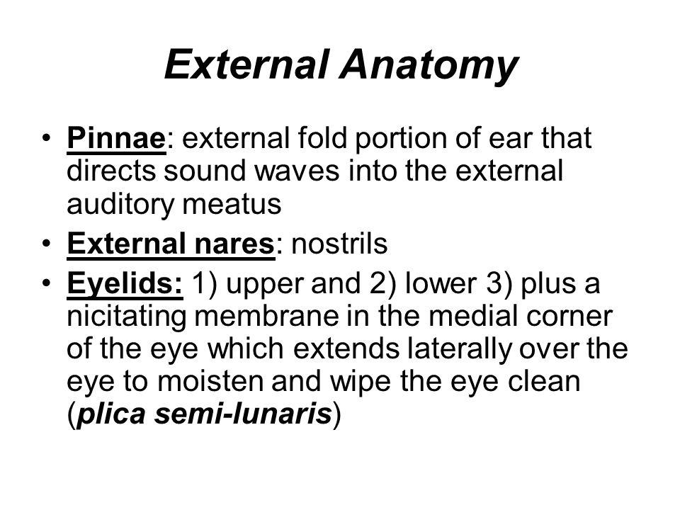 External Anatomy Pinnae: external fold portion of ear that directs sound waves into the external auditory meatus External nares: nostrils Eyelids: 1)