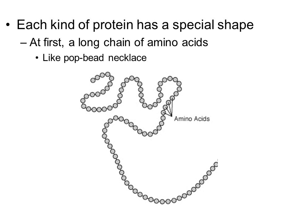 Each kind of protein has a special shape –At first, a long chain of amino acids Like pop-bead necklace