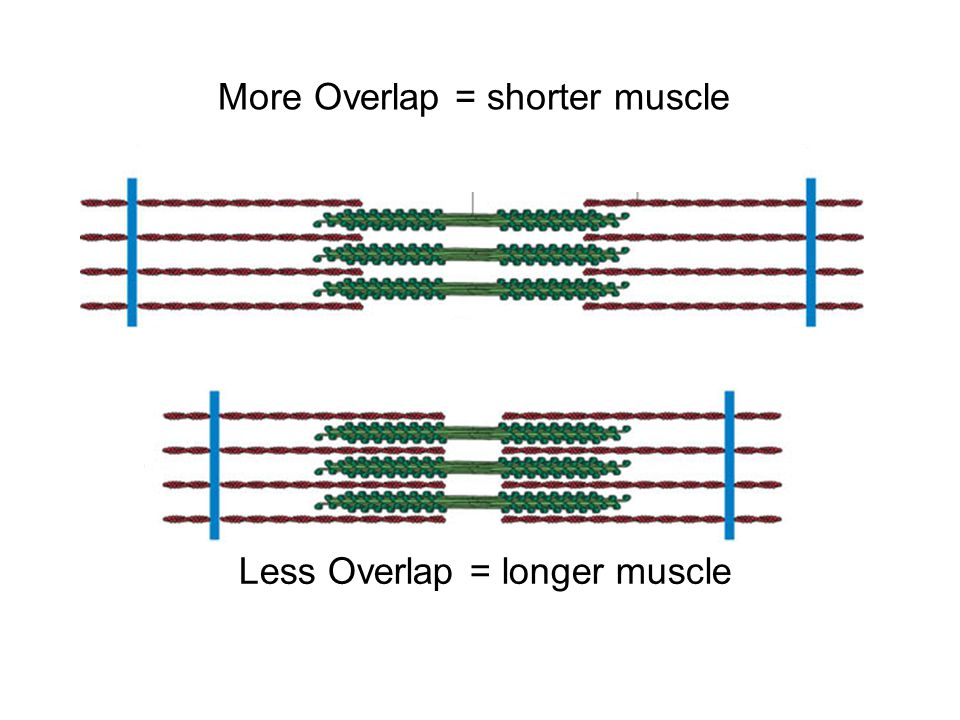More Overlap = shorter muscle Less Overlap = longer muscle