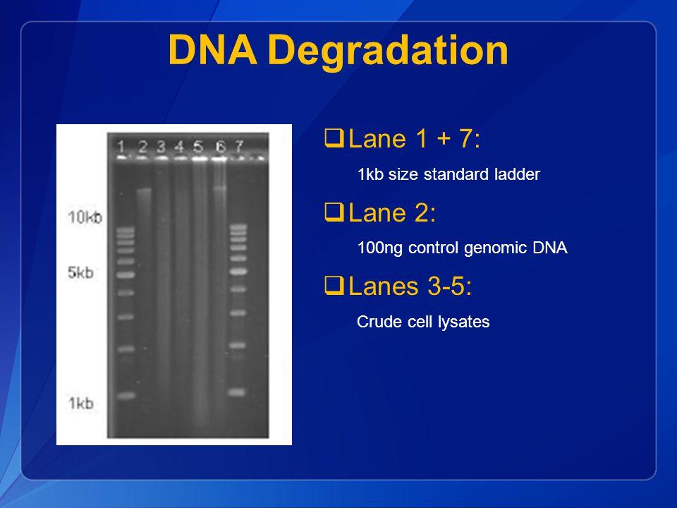 DNA Degradation  Lane 1 + 7: 1kb size standard ladder  Lane 2: 100ng control genomic DNA  Lanes 3-5: Crude cell lysates