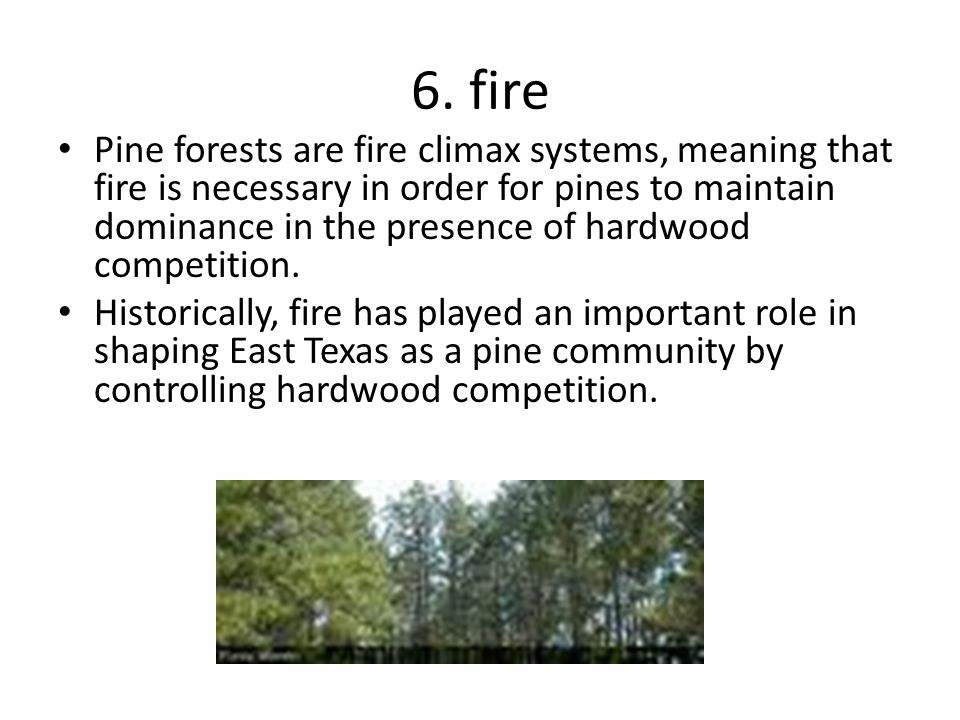 6. fire Pine forests are fire climax systems, meaning that fire is necessary in order for pines to maintain dominance in the presence of hardwood comp