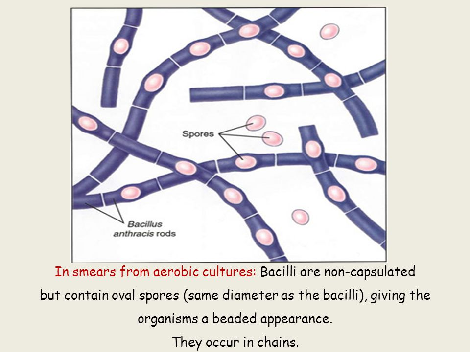 In smears from aerobic cultures: Bacilli are non-capsulated but contain oval spores (same diameter as the bacilli), giving the organisms a beaded appe
