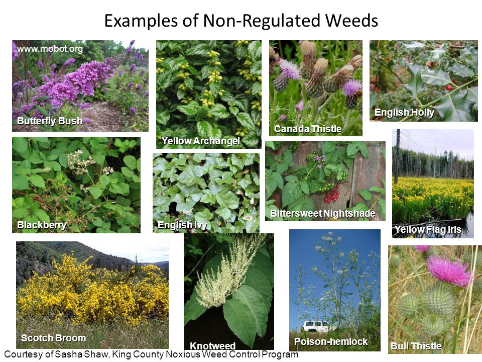 Examples of Non-Regulated Weeds www.mobot.org Butterfly Bush Yellow Archangel Canada Thistle English Holly Blackberry English Ivy Scotch Broom Knotweed Poison-hemlock Bull Thistle Yellow Flag Iris Bittersweet Nightshade Courtesy of Sasha Shaw, King County Noxious Weed Control Program