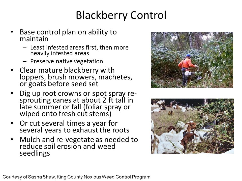 Blackberry Control Base control plan on ability to maintain – Least infested areas first, then more heavily infested areas – Preserve native vegetation Clear mature blackberry with loppers, brush mowers, machetes, or goats before seed set Dig up root crowns or spot spray re- sprouting canes at about 2 ft tall in late summer or fall (foliar spray or wiped onto fresh cut stems) Or cut several times a year for several years to exhaust the roots Mulch and re-vegetate as needed to reduce soil erosion and weed seedlings Courtesy of Sasha Shaw, King County Noxious Weed Control Program