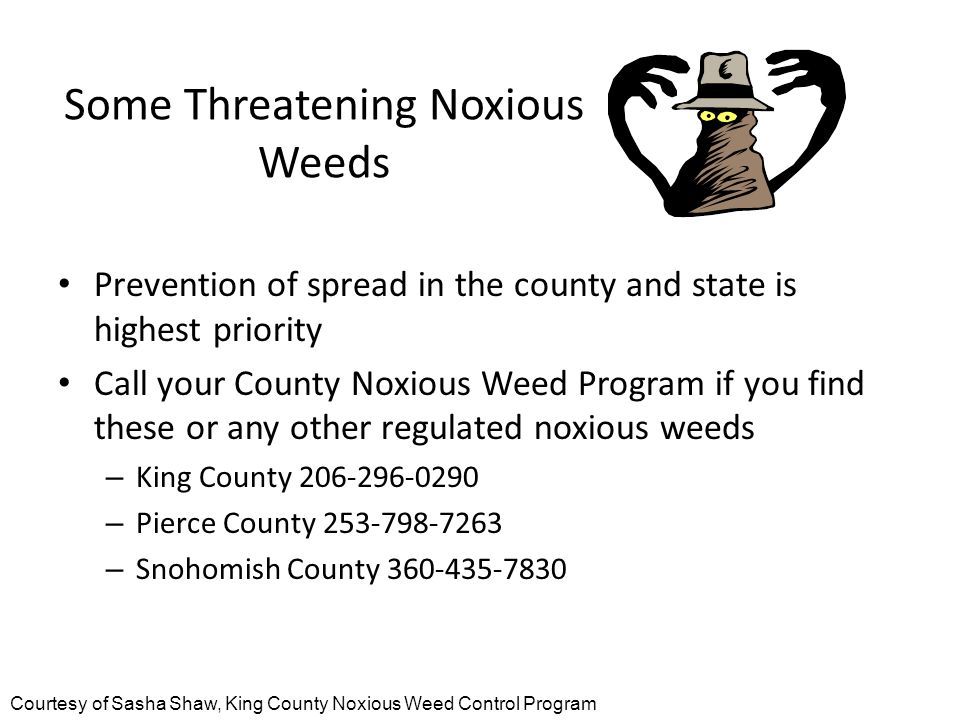 Some Threatening Noxious Weeds Prevention of spread in the county and state is highest priority Call your County Noxious Weed Program if you find these or any other regulated noxious weeds – King County 206-296-0290 – Pierce County 253-798-7263 – Snohomish County 360-435-7830 Courtesy of Sasha Shaw, King County Noxious Weed Control Program