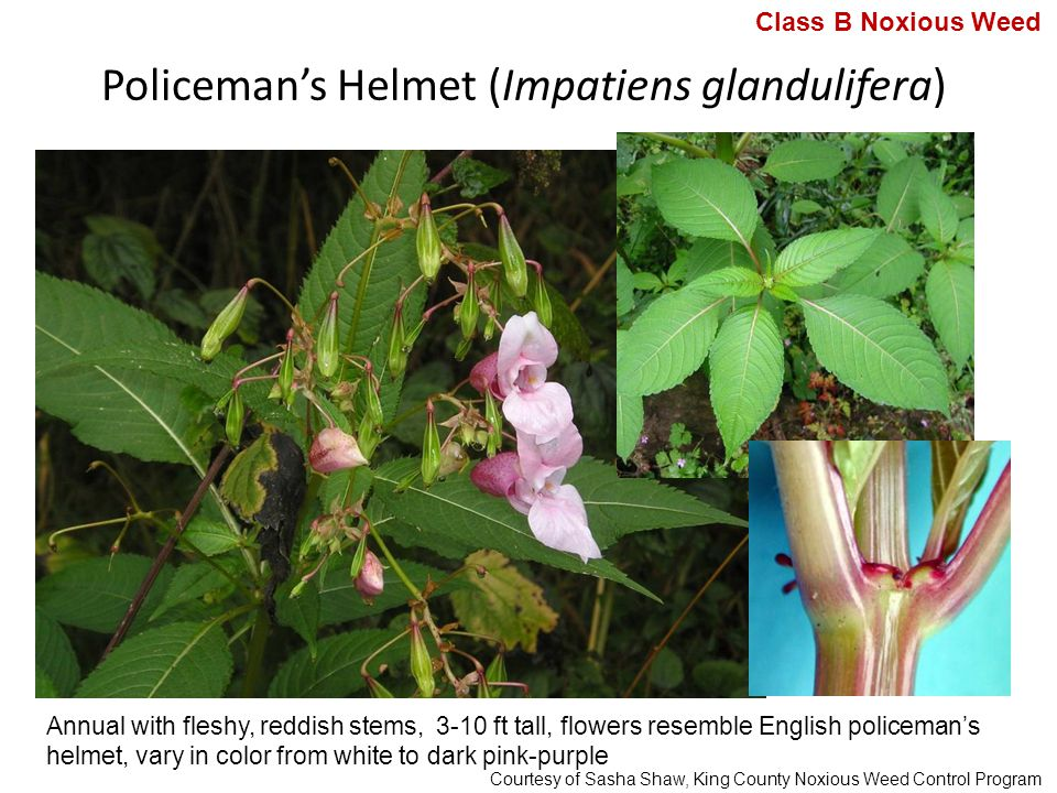Policeman's Helmet (Impatiens glandulifera) Annual with fleshy, reddish stems, 3-10 ft tall, flowers resemble English policeman's helmet, vary in color from white to dark pink-purple Class B Noxious Weed Courtesy of Sasha Shaw, King County Noxious Weed Control Program
