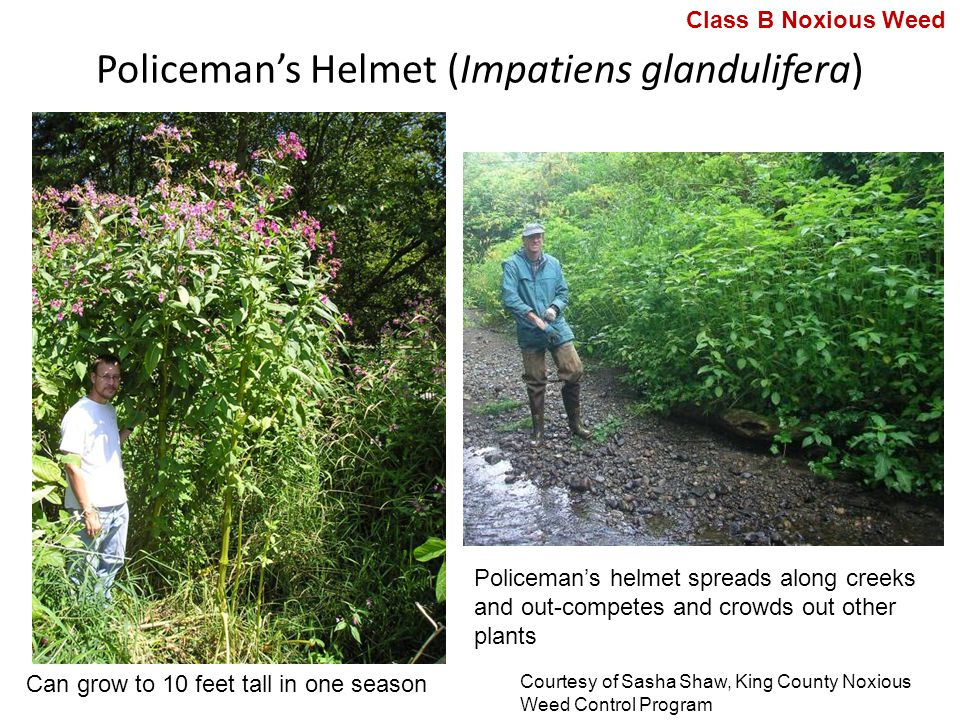 Policeman's Helmet (Impatiens glandulifera) Can grow to 10 feet tall in one season Class B Noxious Weed Policeman's helmet spreads along creeks and out-competes and crowds out other plants Courtesy of Sasha Shaw, King County Noxious Weed Control Program