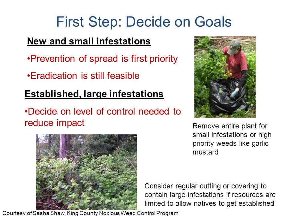 New and small infestations Prevention of spread is first priority Eradication is still feasible Established, large infestations Decide on level of control needed to reduce impact First Step: Decide on Goals Remove entire plant for small infestations or high priority weeds like garlic mustard Consider regular cutting or covering to contain large infestations if resources are limited to allow natives to get established Courtesy of Sasha Shaw, King County Noxious Weed Control Program