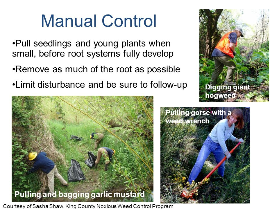 Pull seedlings and young plants when small, before root systems fully develop Remove as much of the root as possible Limit disturbance and be sure to follow-up Pulling and bagging garlic mustard Pulling gorse with a weed wrench Manual Control Digging giant hogweed Courtesy of Sasha Shaw, King County Noxious Weed Control Program