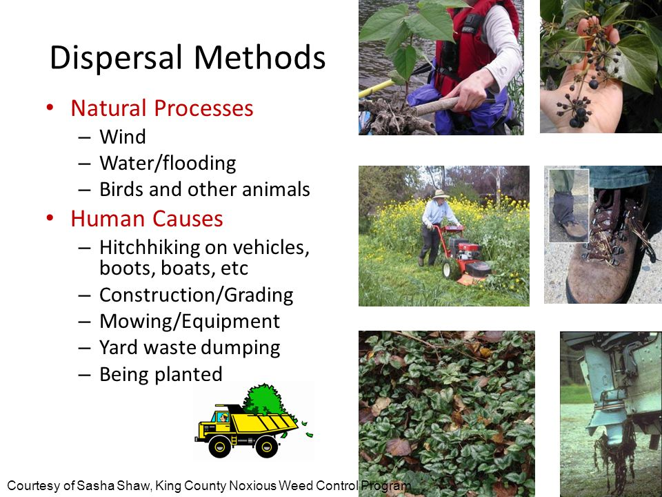 Dispersal Methods Natural Processes – Wind – Water/flooding – Birds and other animals Human Causes – Hitchhiking on vehicles, boots, boats, etc – Construction/Grading – Mowing/Equipment – Yard waste dumping – Being planted Courtesy of Sasha Shaw, King County Noxious Weed Control Program