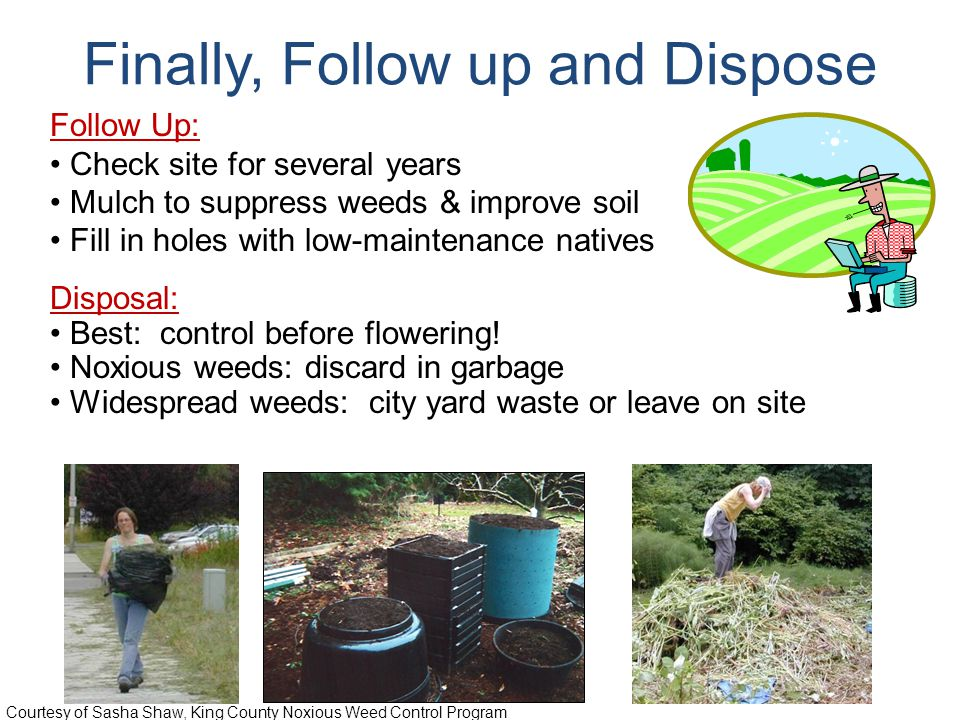 Follow Up: Check site for several years Mulch to suppress weeds & improve soil Fill in holes with low-maintenance natives Disposal: Best: control before flowering.