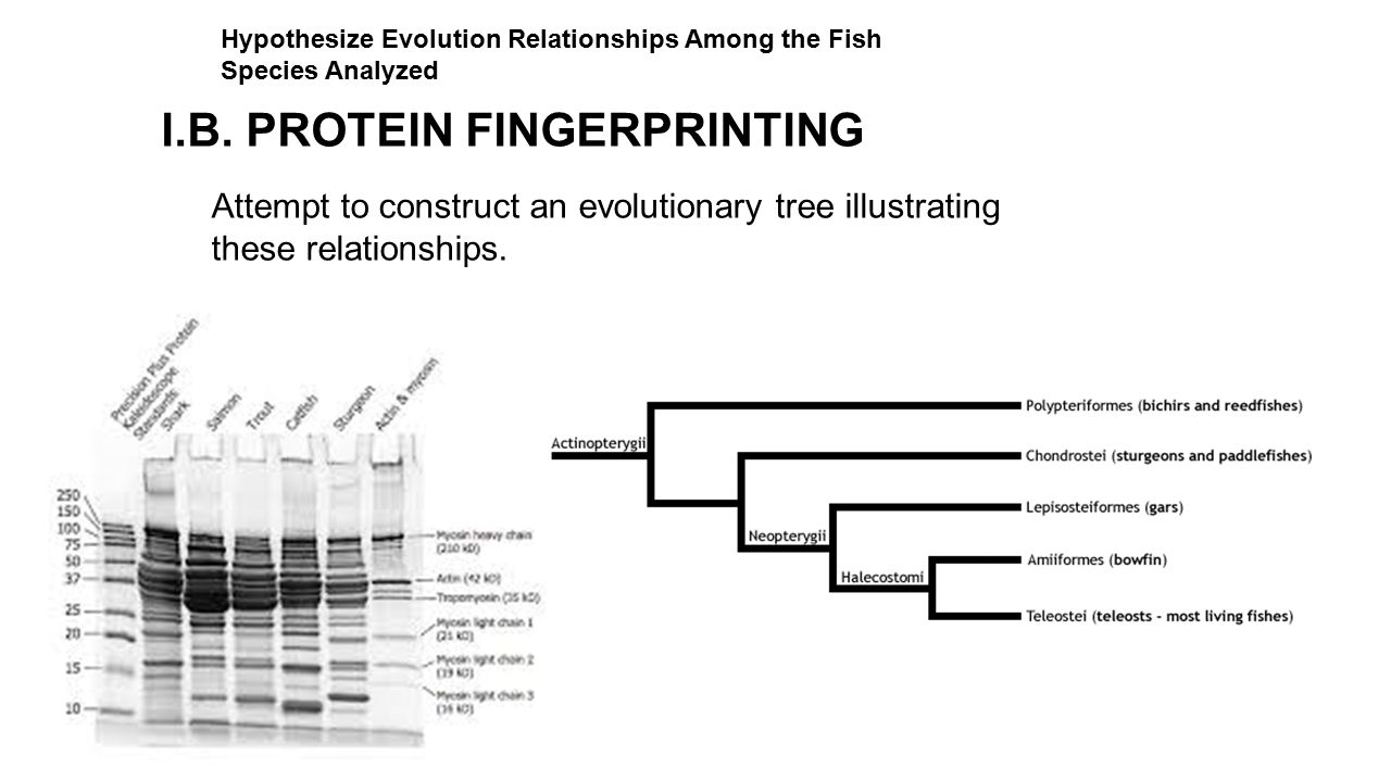 Attempt to construct an evolutionary tree illustrating these relationships. I.B. PROTEIN FINGERPRINTING Hypothesize Evolution Relationships Among the