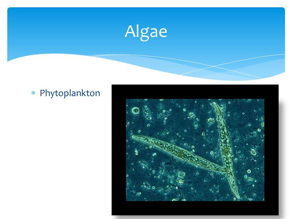  Phytoplankton Algae