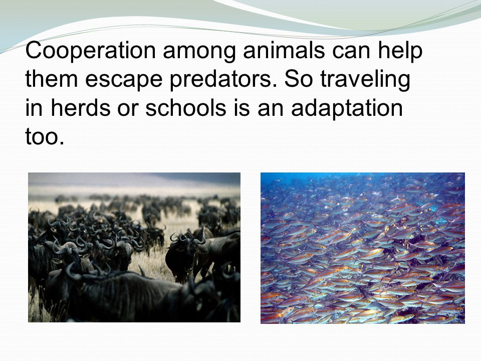 Cooperation among animals can help them escape predators.