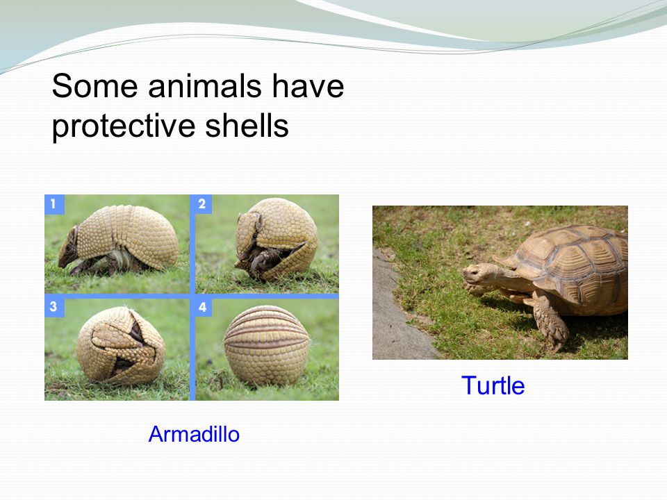 Some animals have protective shells Armadillo Turtle