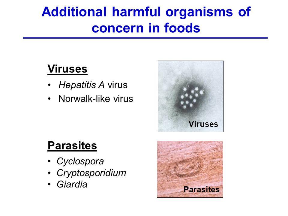 Hepatitis A virus Norwalk-like virus Additional harmful organisms of concern in foods Viruses Cyclospora Cryptosporidium Giardia Parasites Viruses