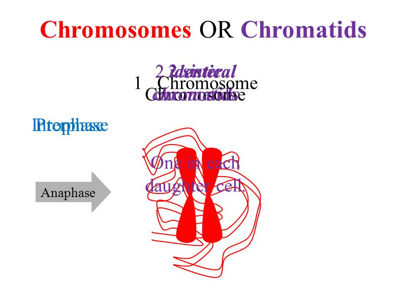 2 sister chromatids Chromosomes OR Chromatids ReplicationAnaphase 1 Chromosome Interphase 2 identical Chromosome 2 identical chromatids One in each daughter cell.