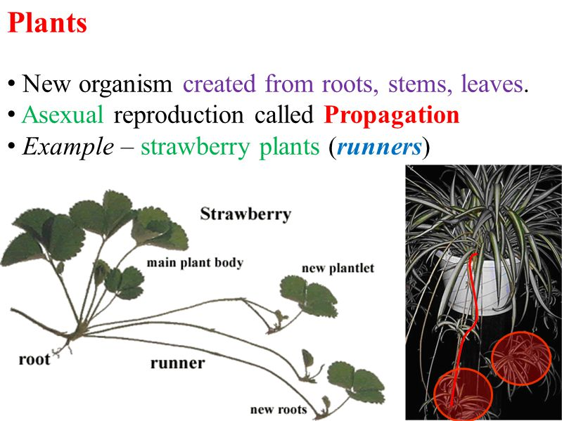 Plants New organism created from roots, stems, leaves.