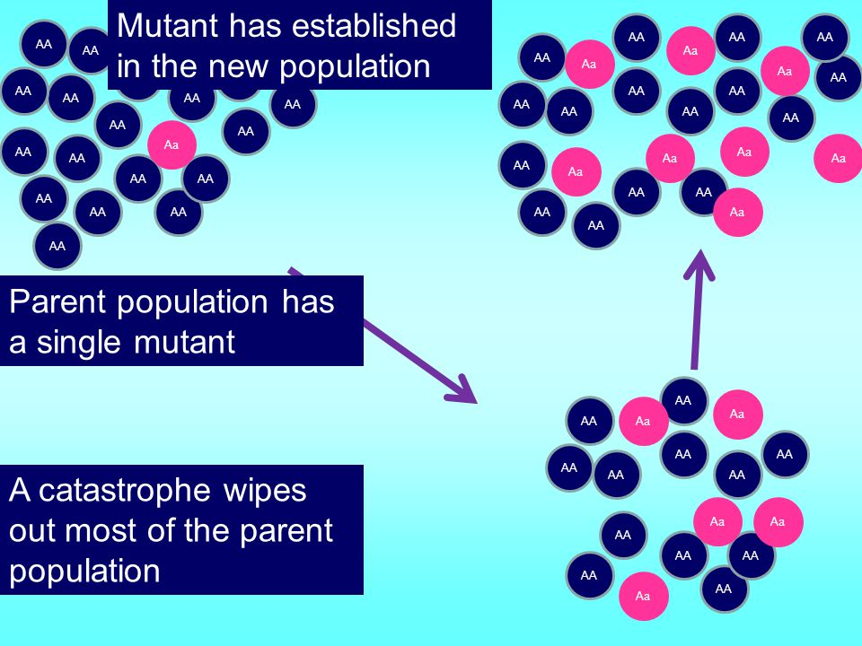 Original large population has equal proportions of blue and red A small founder population may be separated from the parent population
