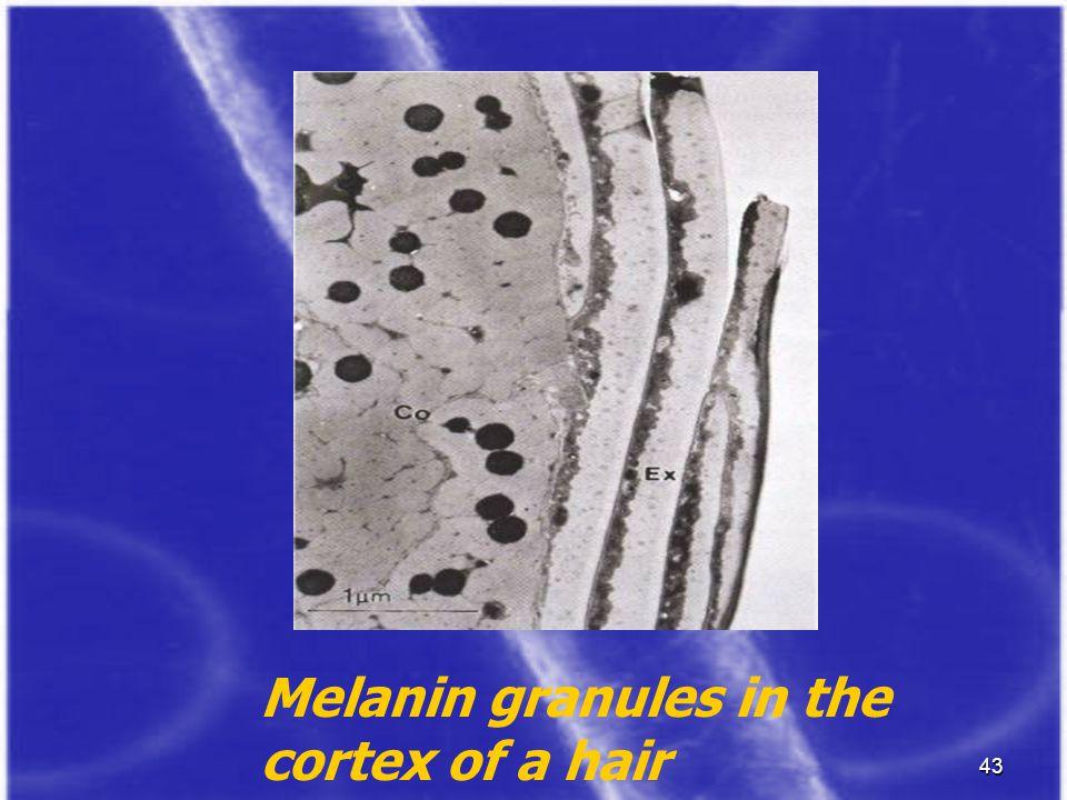 43 Melanin granules in the cortex of a hair
