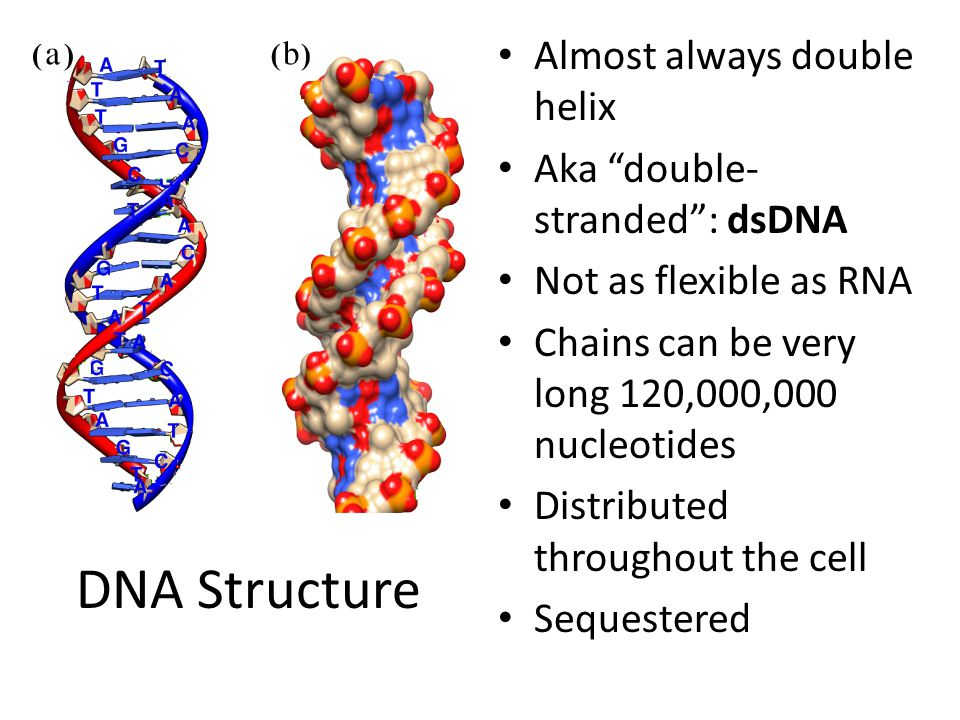 DNA Structure Almost always double helix Aka double- stranded : dsDNA Not as flexible as RNA Chains can be very long 120,000,000 nucleotides Distributed throughout the cell Sequestered