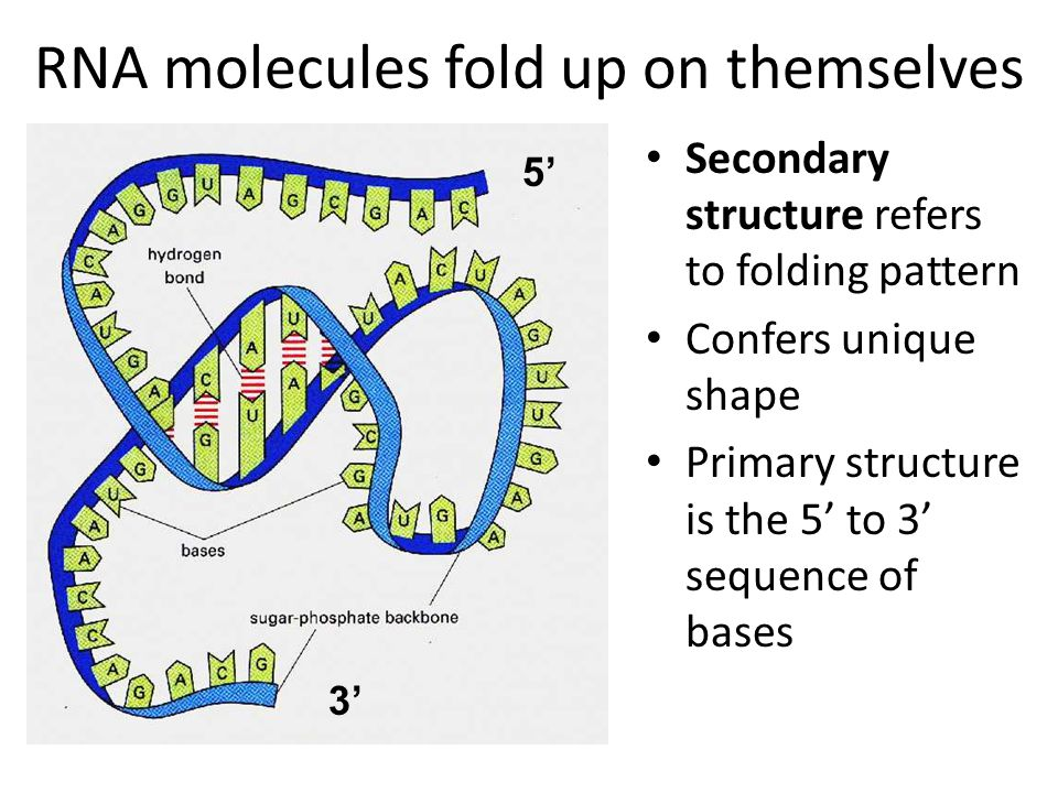 RNA molecules fold up on themselves Secondary structure refers to folding pattern Confers unique shape Primary structure is the 5' to 3' sequence of bases 5' 3'