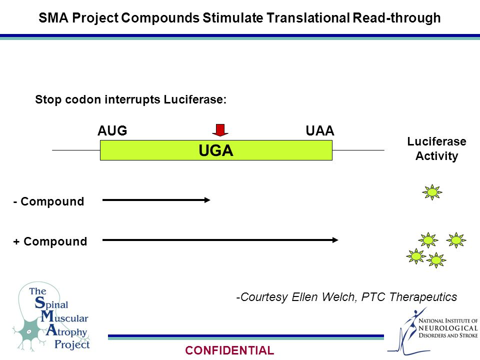 SMA Project Compounds Stimulate Translational Read-through -Courtesy Ellen Welch, PTC Therapeutics UGA + Compound - Compound Luciferase Activity AUGUAA Stop codon interrupts Luciferase: CONFIDENTIAL
