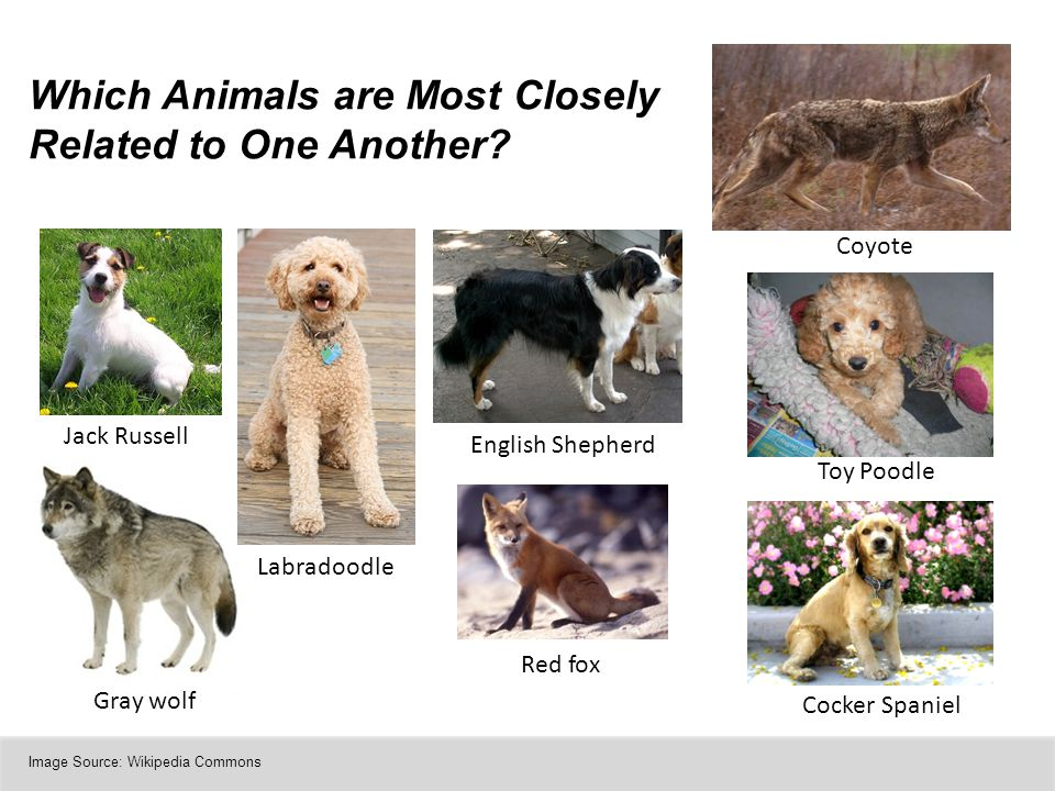 Which Animals are Most Closely Related to One Another? Gray wolf Jack Russell Toy Poodle Labradoodle Coyote English Shepherd Cocker Spaniel Red fox Im
