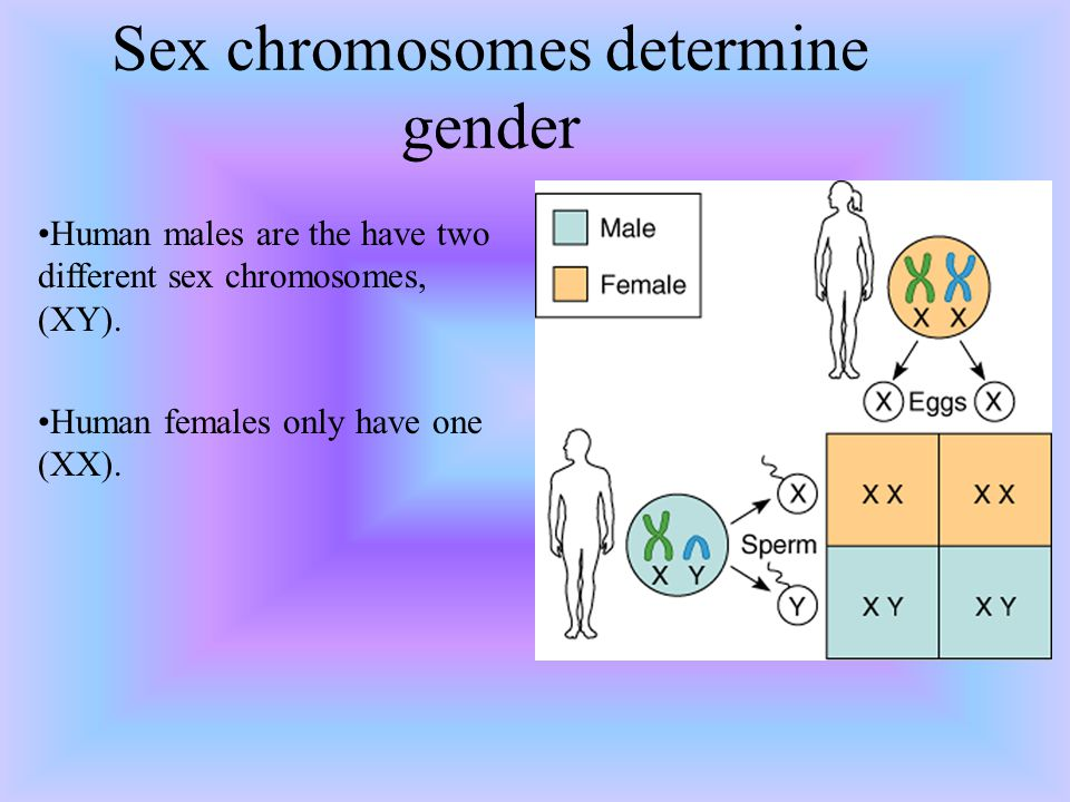 Sex chromosomes determine gender Human males are the have two different sex chromosomes, (XY). Human females only have one (XX).