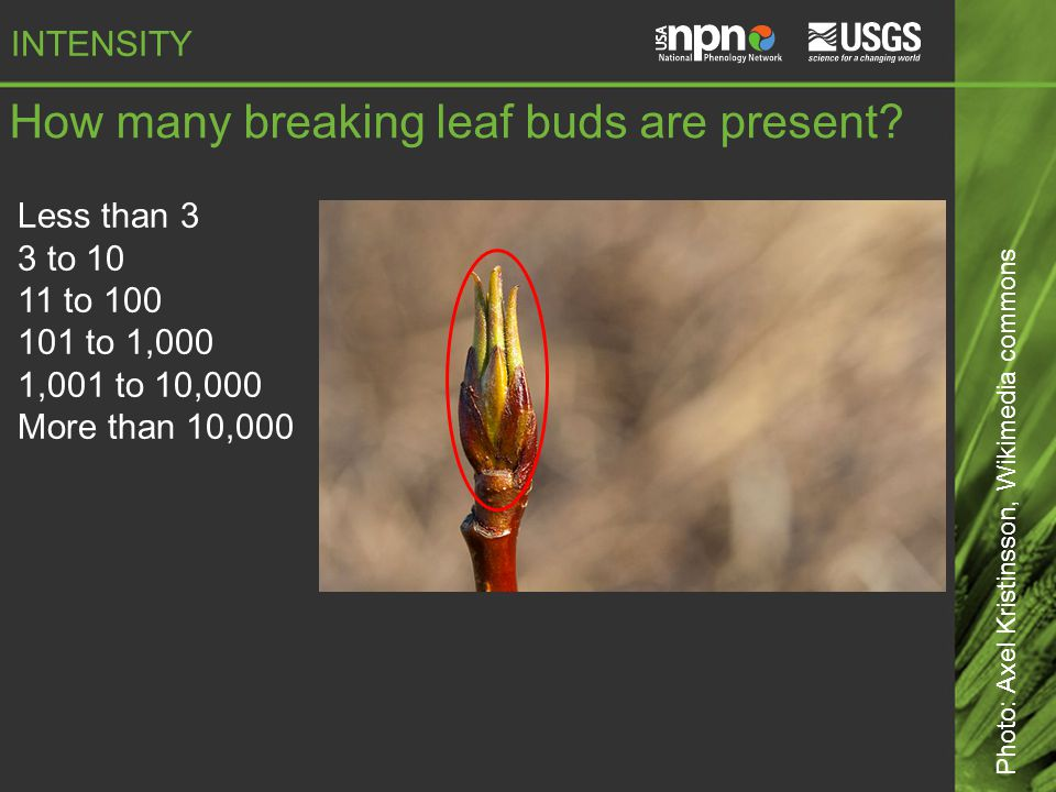 How many breaking leaf buds are present.